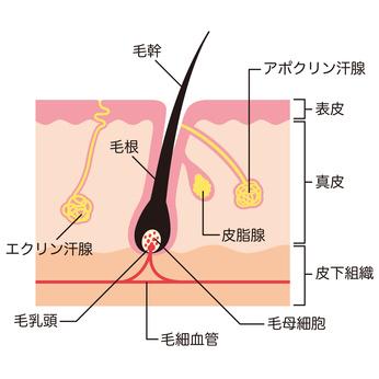 毛の解剖学的構造